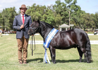 Best Shetland Pony Gelding Suburban Lodge Just Levi, exhibited by Jack Riedell.