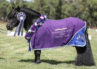 Shetland Pony of the Year Lentara Tremonti owned by Lee Purchase.