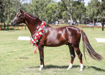 It was a good day for Kerrington Lodge Take Note, exhibited by Kerrie Donovan & Suburban Lodge. The stunning boy won Runner-Up in The Bamborough Australian Champion of Champions In-Hand Final, Supreme Champion Welsh Pony & Welsh Pony or Cob of the Year