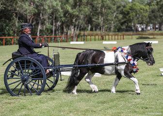Supreme Champion Shetland Pony in Harness Edgewood Rockstar & Jo Maunder.