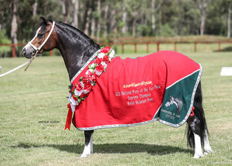 Supreme Champion Welsh Mountain Pony & Runner-Up Welsh Pony or Cob of the Year Woranora Prada, exhibited by Helen Dohan.