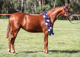APSB Partbred or APSB Riding Pony of the Year Summerview Aria, exhibited by Alison Gill & Suburban Lodge.
