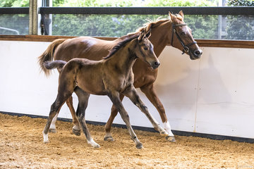 Oaks Callista (Contendro x Ultimo vd Moude x Jalisco B) By Contendro from Oaks Miss Universe Owned by Alice Cameron Bred by Oaks Sport Horses (Alice Cameron) 89.64% Platinumfrom