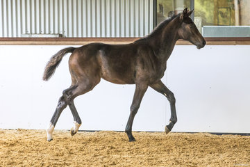 Oaks Cosmic (Contendro x Emerald Van'T Ruytershof x Clearway) By Contendro from Oaks Enigma (ET) Owned by Alice Cameron Bred by Oaks Sport Horses (Alice Cameron) 83.91%