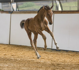 Oaks Eclipse (Oaks Espionage x Vivant x Daley K) By Oaks Espionage from Oaks Victory Waltz  Owned by Alice Cameron Bred by Oaks Sport Horses (Alice Cameron) 85% Platinum