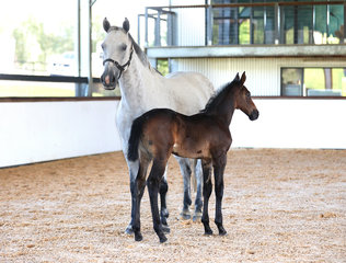 Oaks Equinox  (Oaks Espionage x Indoctro x Contender) By Oaks Espionage from Mirage MVNZ (Imp) Owned by Alice Cameron Bred by Oaks Sport Horses (Alice Cameron) 88.21% Platinum