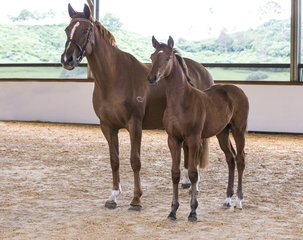 Oaks Lattitude (Lord Pezi x Centus x Olympic Ahorn) By Lord Pezi from Oaks Cinderella Owned by Alice Cameron Bred by Oaks Sport Horses (Alice Cameron) 90% Platinum