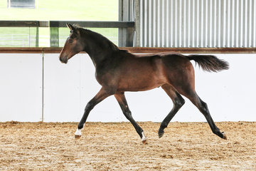 Oaks Quantum (Oaks Quizzical x Baluga x Darco) By Oaks Quizzical from Oaks Burgundy (ET) Owned by Alice Cameron Bred by Oaks Sport Horses (Alice Cameron) 86.78% Platinum