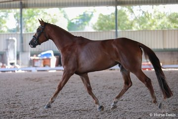 Jaybee Ad Astra by Jaybee Alto out of Jaybee Amazon (Aachimedes (Dec)) Owned and shown by Joanna Barry Image: Kate Turnbull