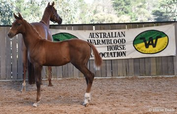 Springside Scarpa (ET) By Morricone (IFS) out of Samsara Hit (IMP) (Sandro Hit) Owned by Springside Warmbloods. Image: Mary McBurnie