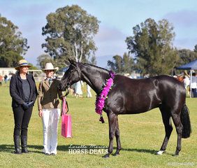 "Supreme Champion Led Australian Stock Horse Exhibit ""Celadon Executive"" exhibited by Emerald Equestrian. Pictured is the ASH judge Sharleen Flanagan and handler Emma Donnelly."