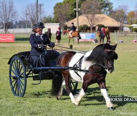 """Winner of the Shetland in Harness class """"Edgewood Rockstar"""", owned and driven by Joann Maunder."""