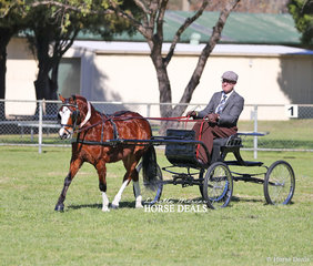 """""""Apollo Park Kingfisher"""" was Reserve Champion Harness exhibit, owned by Joann Munder and driven by Mark Glendenning."""