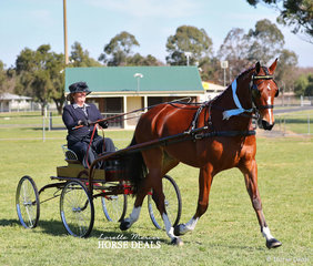 "Champion Harness Exhibit ""Glenbourne Star"" owned by Mark Glendenning and driven by Joann Maunder."