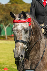 Alanna Richard's rode her own Royal Blu to success in their return to the show ring, while only in his first show season Blu is proving to be far better suited to the show ring than a racecourse, having a race record of just 1 start.