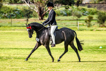Newcomer, First Season and Champion large show pony winner Royalwood Enchanting made her debut to the show ring ridden by Margot Haynes for Catherine Gale.