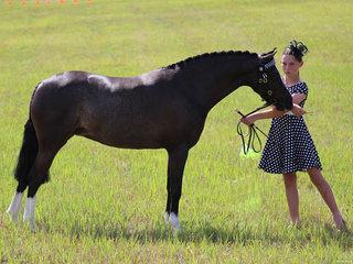 Champion Led Pony Bordershow Midnight exhibited by Anastasia Blanch