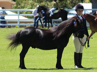 Champion Led Shetland shown by Ella Robinson