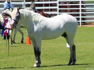 Champion Led APSB Stallion