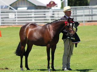 Supreme led mare Sandarah Evening Star shown by Riley Kent