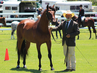 Champion Led ASH Stallion Meluca Stud Barrister  exhibited by Jason Regan