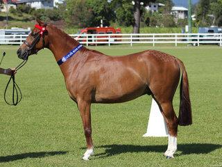 Tremayne Final Symphony Reserve Champion Led Pony