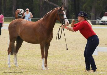 Sue-Ellen Lathen led her handsome Rivington Sunday Secret that won the class for Led Show Hunter Pony 12hh and not over 13hh