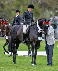 Placing in the ridden Hack over  16hh were Elizabeth Krog & Warrawee Impressareeo. This was the largest class of the day having to be split into two heats of quality horses