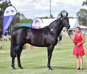 "Winner of the Led Stallion or Colt over 16hh & REserve Champion Led Stallion or Colt  ""Itz Fifth Avenue"", exhibited by Leanne Jones."