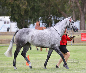 "Second placegetter in the Led Thoroughbred Mare/Gelding/Stallion 21-30 starts ""Private Valentine"" exhibited by Mary Holman."