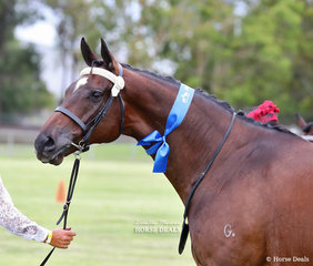 """""""Hand From Above"""" was Champion Led Raced/Unraced Thoroughbred & Reserve Champion Provincial Trained Led Thoroughbred, exhibited by Amanda Williams."""