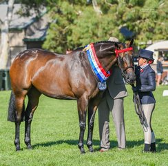 Kat Mulluns former Sydney Royal winning mare Divinity & Hollie Hildebrandt won the Champion Led Heck and then went on to also have several other wins under saddle under judge Dean Matthews in todays Racing Victoria classes.
