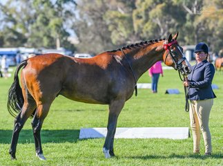Re trainer of the year Fiona McIntyre took her OTT Hack Highgrove out for the first time today in the racing Vic led classes. Highgrove was raced as Able Fun trained by Chris Waller and is another success story from the Racing Vic OTT Program.