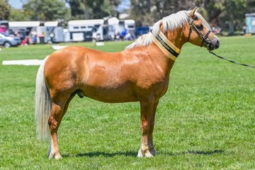 Supreme Led section B C & D male was won by Tabayne Trojan War & T Knelange in the Welsh ring