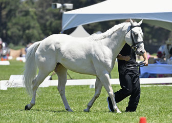 Ashwoods Dun My Luck shown in Hunter in Hand, 2years and over by Brady Russell
