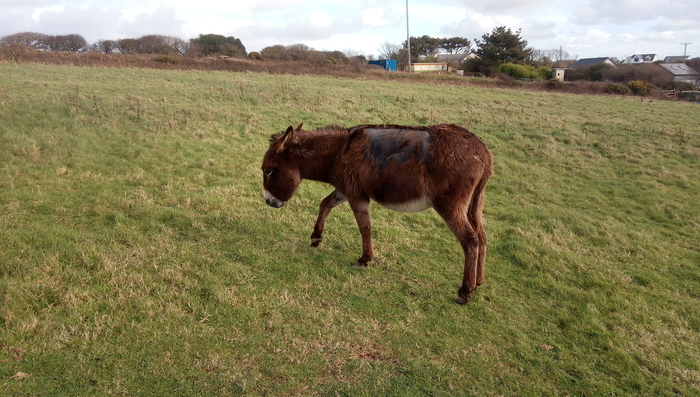 Lily at time of rescue - The Donkey Sanctuary