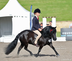 """Champion Ridden Shetland was Lillie Ford's big moving """"Dunavon James The First""""."""