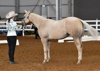 Luminous,shown by Chloe Nesci in Youth Halter Paint Bred mare.