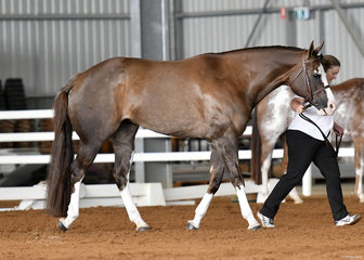 Sue Miller and Ima Surprise Package in the Senior Horse Hunter In Hand.