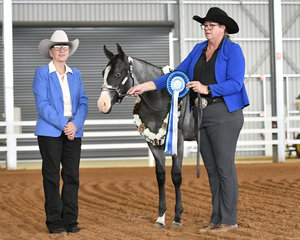 Winner of the Weanling Futurity, APQ Just Perfexion shown by Dee Gavin.
