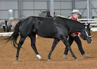 Ann Priestley showing Cowboys Stylish Pearl in the Amateur  Paint Bred mare  4 years and over halter class.