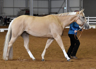 Brumby Lodge Cool Gem shown by Sarah Kealey in the AQHA mare 4 years and over halter class.
