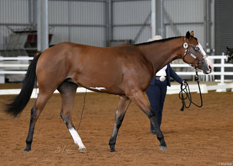 KLI Traditional, shown by Krystal Imgram in the Yearling Led Versatility Lungeline