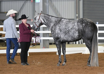 Nicole Morrison showing The Bounty Hunter in Amateur Owner Quarter Horse Gelding 4 years and over Halter class.