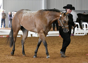 Nornao Sealed With A Kiss, shown by Lisa Patton in the Appaloosa Gelding 4 years and over halter class.