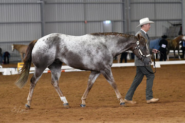 Russell Mutimer showing Heza Cool Hancock in the Appaloosa Gelding 4 years and over halter class.