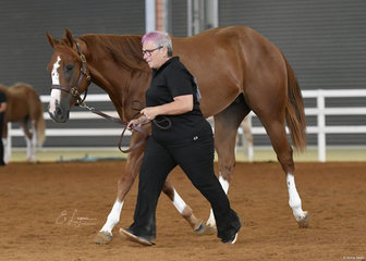 Tanya Thomas and SC Undeniabley Grand showing in Hunter In Hand.