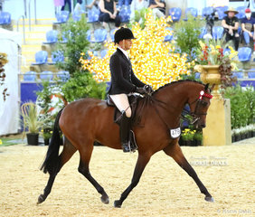 """The CBC CONSTRUCTIONS Small Galloway Reserve Champion """"Royalwood Touch Of Lyric"""", exhibited by Universal Stables, Sue Oberg and Joe Charnock, ridden by Adam Oliver."""