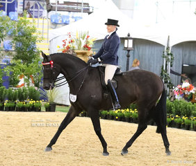 """Kate Ramsay's exhibit """"Inafrenzy"""" working out in the ROMSEY PARK Large Saddle Horse event."""