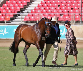 Winner of the ANSA Saddlehorse Mare, 4yrs & over, over 15hh & Champion ANSA Mare over 14hh was Dianne Phillips' entry 'L Bella', pictured is ANSA judge Belinda Scanlon.